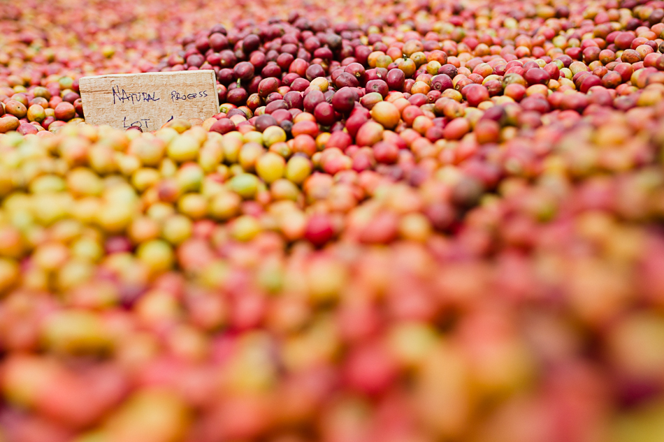 sun dried naturals, honey naturals, long miles coffee project, coffee harvest
