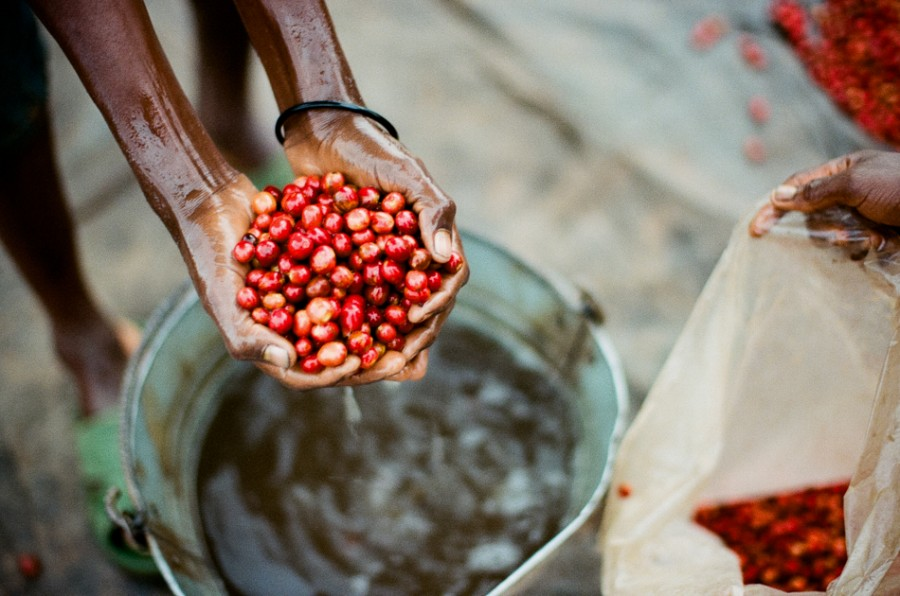 coffee cherries, coffee seed, coffee tree, long miles coffee project, coffee harvest, burundi coffee