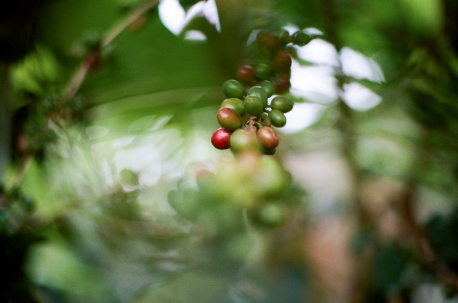 coffee cherries, coffee seed, coffee tree, long miles coffee project, coffee harvest