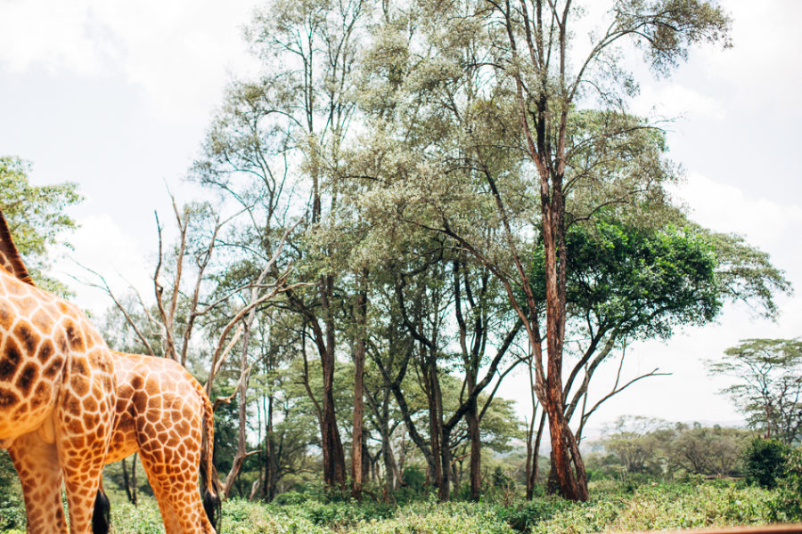 long miles coffee project, things to do with kids in nairobi, fun things to do in nairobi, nairobi game park, elephant orphanage, nairobi giraffe center