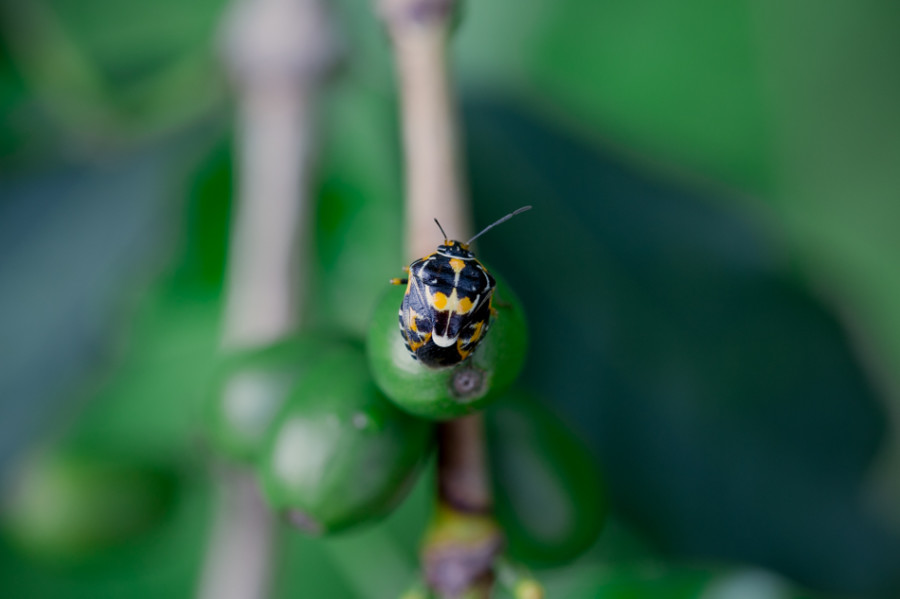 Antestia bug, Burundi coffee bug, Long Miles Coffee, Potato defect